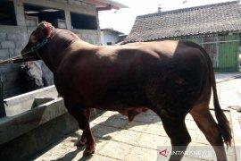 Presiden  Jokowi sumbangkan dua ekor sapi untuk Surakarta