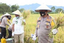 Kapolda Sumut panen raya padi  bersama masyarakat di Kabupaten Toba
