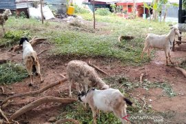 Penjualan hewan kurban di Bengkulu turun hingga 80 persen