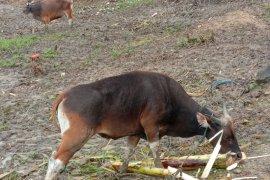 Maluku dapat hewan kurban bantuan Presiden Joko Widodo