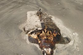 Bangkai penyu terdampar di pantai Lampung Timur Page 1 Small