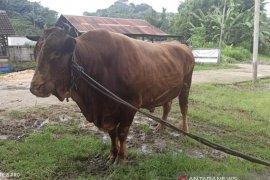 DPKH Kaltim telah siapkan sapi kurban Presiden Jokowi