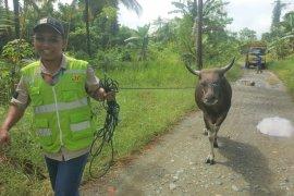 Harita Nickel bagikan 14 ekor sapi sambut Idul Adha di pulau Obi