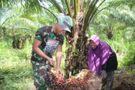 Satgas TMMD bantu warga panen kelapa sawit