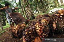 Harga kelapa sawit naik lagi, begini harapan petani Abdya