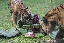 Pemulihan insting harimau berburu mangsa