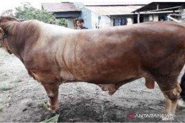 Gubernur serahkan sapi kurban 1,2 ton bantuan presiden ke Mempawah