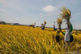 Peneliti ingatkan pemerintah pastikan stok beras hingga akhir tahun