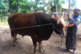 Presiden Jokowi sumbang sapi kurban 1,3 ton untuk NTB,