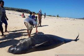 Belasan ekor paus pilot terdampar pesisir pantai sabu raijua