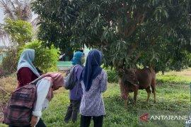 Warga Mukomuko potong 745 hewan kurban pada Idul Adha 1441 H