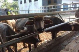 Lebak kembangkan pembibitan dorong populasi kerbau meningkat