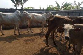 Pemkab Lebak optimalkan pemeriksaan hewan kurban