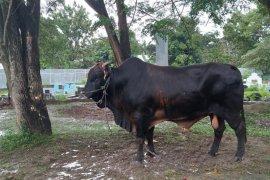 Gubernur Gorontalo serahkan sapi bantuan Presiden Jokowi ke Masjid Almarhamah