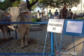 Sapi kurban Presiden Jokowi di Jatim hasil ternak terbaik