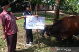Syukuri nikmat dan rejeki Allah SWT, Syaifullah Tamliha bagikan sapi kurban