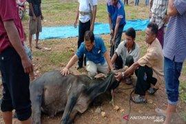 Bupati serahkan satu ekor sapi untuk wartawan Madina