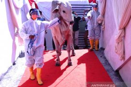 Karpet merah sapi kurban Presiden Jokowi di Masjid Al-Akbar Surabaya