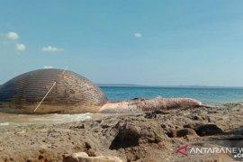 Selama Juli sebanyak 12 ekor paus terdampar di perairan NTT