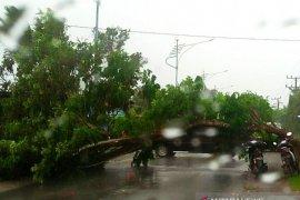 Angin tumbangkan pohon diatas badan jalan Meulaboh-Sigli di Pasi Jambu Aceh Barat