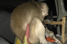 Lima kera pelaku usaha topeng monyet disita petugas