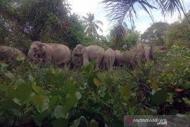 Petugas BBKSDA halau 14 gajah liar yang masuk permukiman
