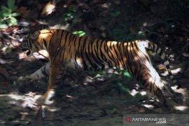 Warga resah, tiga ekor harimau dekati pemukiman penduduk