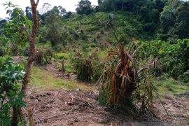 Puluhan gajah liar porak porandakan  kebun warga di Aceh Jaya
