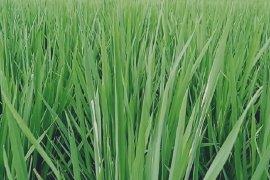 15 hektare padi di Mukomuko terserang ulat
