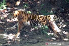 Walhi: Harimau keluar habitatnya sering terjadi