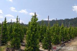 Kementan sarankan Kabupaten Belitung integrasikan perkebunan lada dan kopi