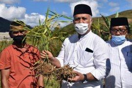 Petani di Aceh Tengah mulai kembangkan budidaya jahe emprit