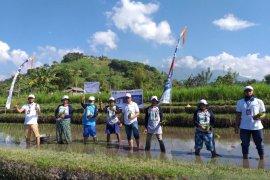 Tingkatkan produktivitas pertanian, PT Pupuk Kaltim gelar demplot padi di Desa Peladung-Bali