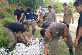 Pemkab Aceh Jaya mulai tertibkan hewan ternak berkeliaran di jalan raya