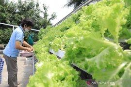 Warga Ciledug, Tangerang jadikan atap rumah kebun hidroponik, untung jutaan