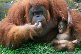 Kelahiran bayi orangutan Kalimantan