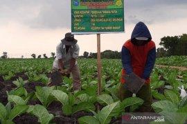 DKPP Probolinggo siapkan tiga lokasi demplot benih tembakau bersertifikat