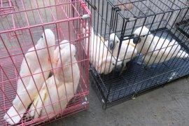 BBKSDA Sumut kembalikan  burung yang dilindungi ke Maluku