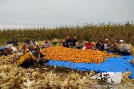 TPL bersama petani binaan panen perdana jagung di Sipahutar Taput