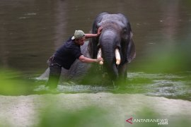 Olo Gajah Jinak Mati