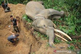 Gajah jinak mati mendadak di Aceh Jaya