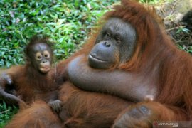 Kelahiran bayi Orangutan Kalimantan di Pasuruan Page 1 Small