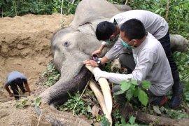 Gajah jinak mati mendadak, berikut penjelasan BKSDA Aceh hasil pemeriksaan tim medis