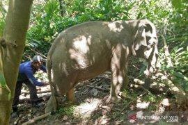 Tim BKSDA selamatkan anak gajah dari jerat tali