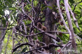 BKSDA Bangka Belitung lepas liarkan kukang terancam punah