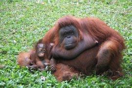Orangutan Taman Safari Prigen Pasuruan bertambah