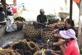 Ratusan warga Nusa Lembongan-Bali jadi pembudidaya rumput laut karena COVID-19