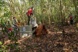 Tim gabungan selamatkan seekor orangutan jantan dewasa di Ketapang