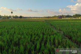 Produksi padi di Kabupaten Belitung mencapai 1.336 ton