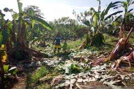 Belasan gajah mengamuk dan rusak rumah warga di Aceh